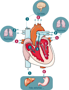 Circulation du sang dans le cœur