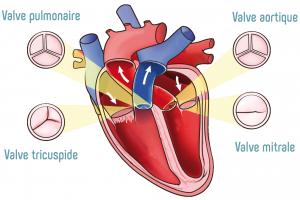 Les valves du coeur