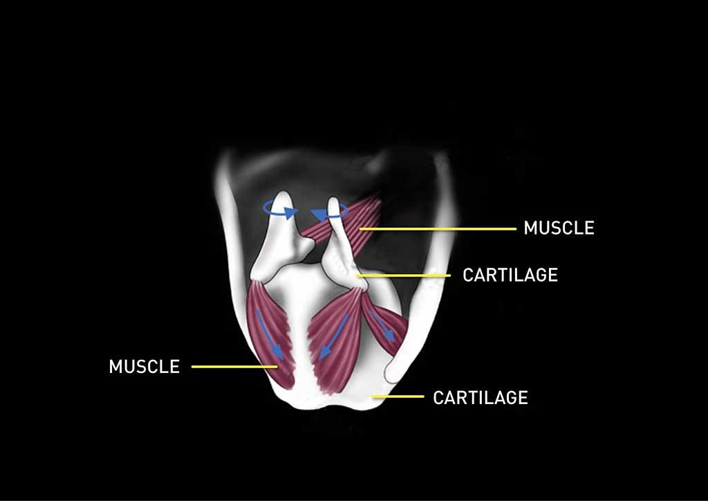 Visuel des muscles crico-aryténoïdiens afin d'illustrer la réinnervation laryngée