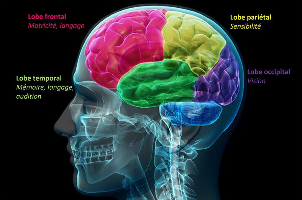 Schéma d'un cerveau montrant chaque lobe qui le compose afin d'illustrer les crises d'épilepsie partielles ou focales.